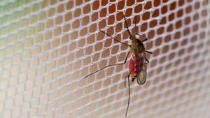 Mosquito em uma tela mosquiteira